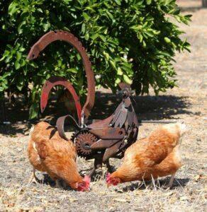 Jordan Sprigg Rooster 2